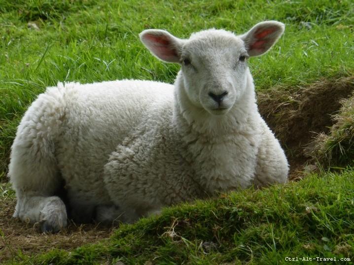 Handsome Sheep - Grounded Traveler